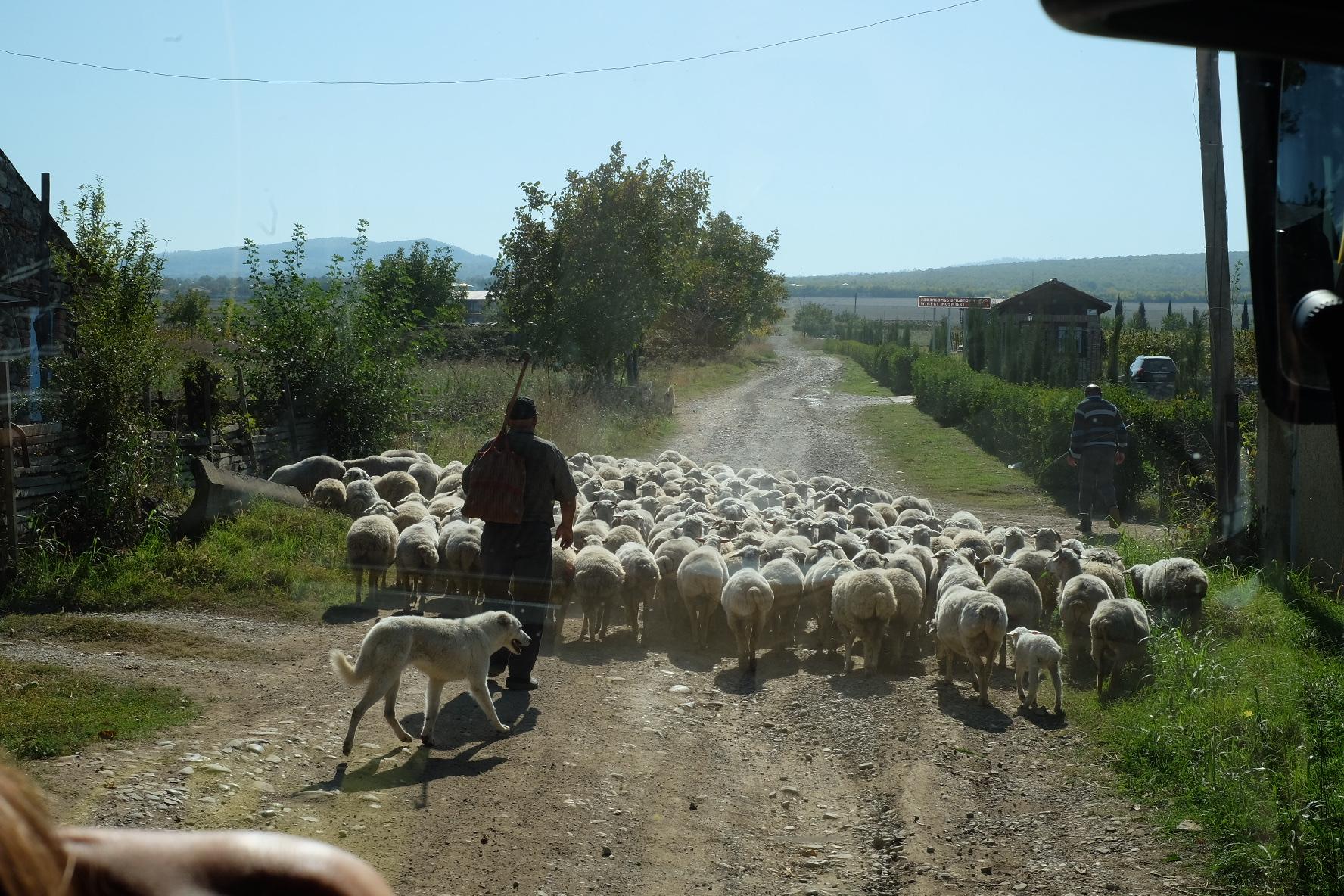 Bland människor och får i Kakheti